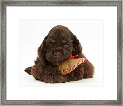 Cocker Spaniel Pup With Chew Treat Framed Print by Mark Taylor