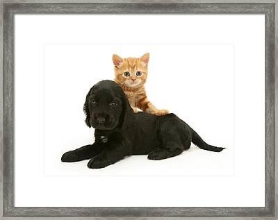 Cocker Spaniel Puppy And Kitten Framed Print by Jane Burton
