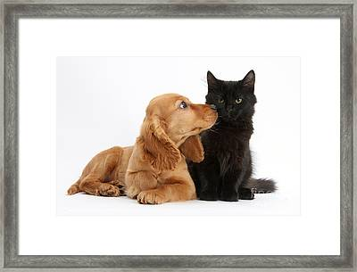 Cocker Spaniel Puppy And Maine Coon Framed Print by Mark Taylor