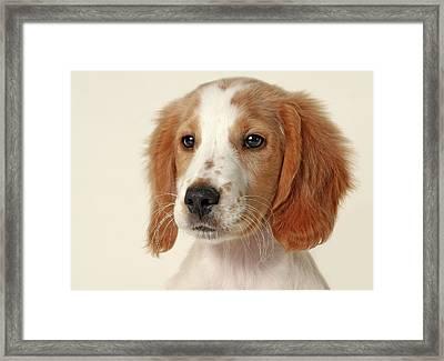 Cocker Spaniel Puppy Framed Print by Retales Botijero