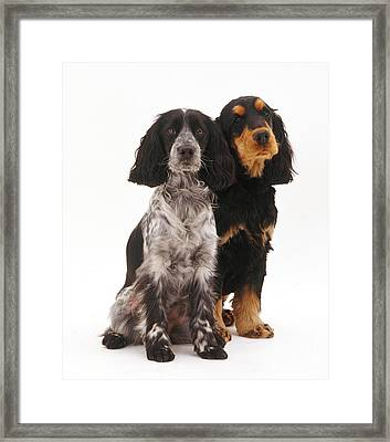 Cocker Spaniels Framed Print by Jane Burton