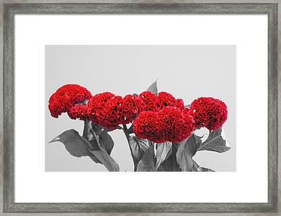 Cockscomb Duochrome Framed Print by Christopher Mullard