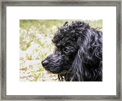 Framed Print featuring the photograph Coco Poodle by Ester  Rogers