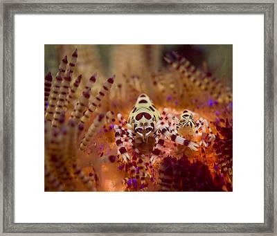 Coleman Shirmp Pair Framed Print