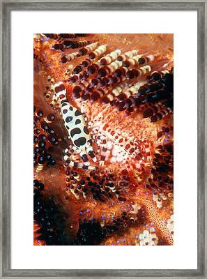 Coleman's Shrimp On A Sea Urchin Framed Print
