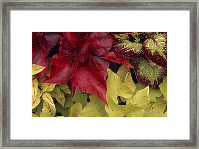 Coleus And Other Plants In A Window Box Framed Print by Paul Damien