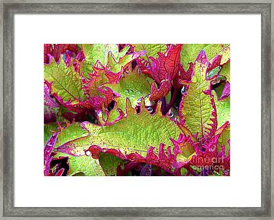 Coleus With Raindrops Framed Print by Judi Bagwell