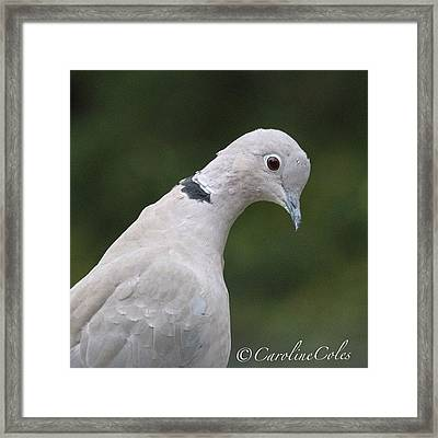 Collared Dove -neck Stretching! Framed Print