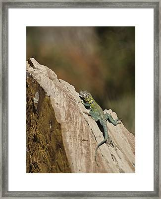 Collared Lizard Framed Print by Melany Sarafis