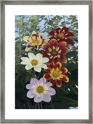 Collerette Dahlias Framed Print