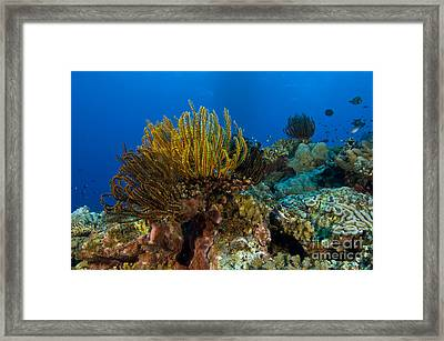Colony Of Crinoids, Papua New Guinea Framed Print by Steve Jones