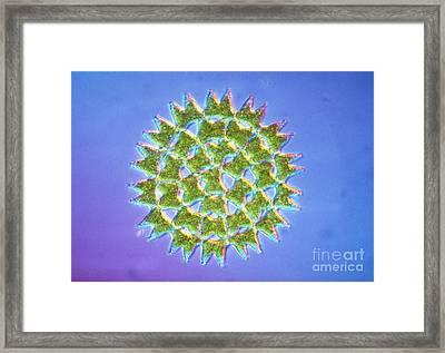Colony Of Pediastrum Sp. Green Algae Framed Print by Eric Grave