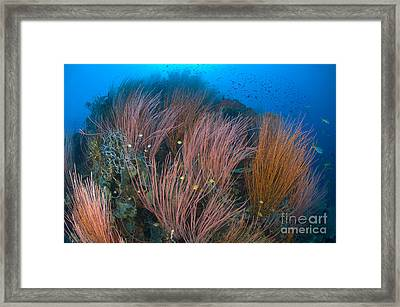 Colony Of Red Whip Fan Coral, Papua New Framed Print by Steve Jones