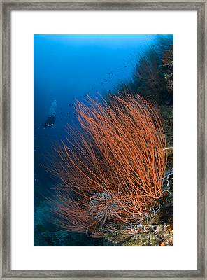 Colony Of Red Whip Fan Coral Framed Print by Steve Jones