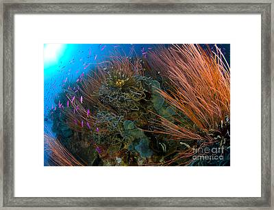 Colony Of Red Whip Fan Coral With Fish Framed Print by Steve Jones