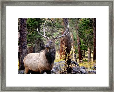 Framed Print featuring the photograph Colorado Elk by Nava Thompson