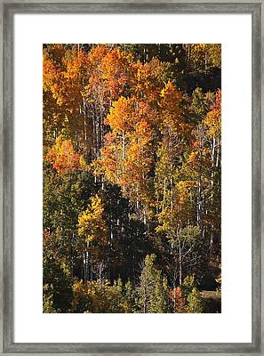 Colorado Flaming Aspen Framed Print