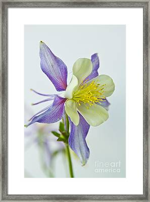 Colorado Rocky Mountain Columbine Framed Print by James BO  Insogna