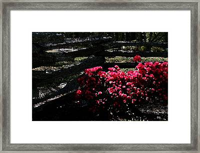 Colorful Azaleas Framed Print