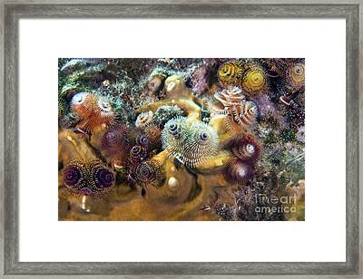 Colorful Christmas Tree Worms, Key Framed Print by Terry Moore