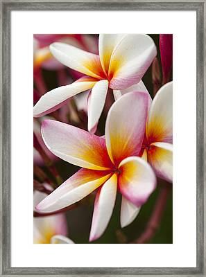 Colorful Plumeria Flowers  Framed Print by Anek Suwannaphoom