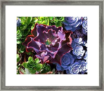 Colorful Succulents Framed Print by Nancy Mueller