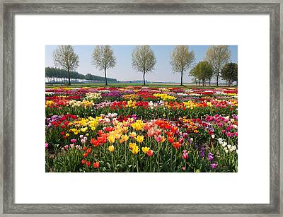 Framed Print featuring the photograph Colorful Tulips by Hans Engbers