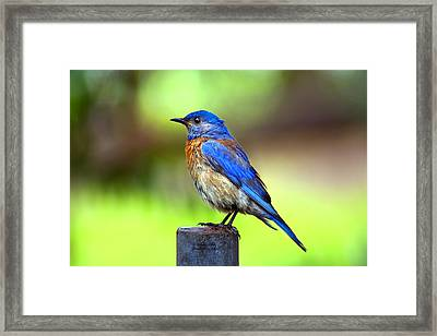 Colorful - Western Bluebird Framed Print