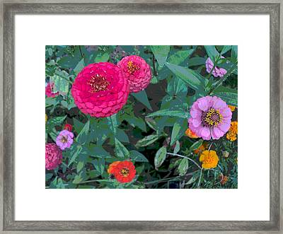 Colorful Zinnia Flowers Framed Print by Padre Art