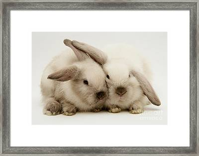 Colorpoint Baby Lop Rabbit Framed Print