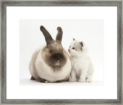 Colorpoint Kitten And Colorpoint Rabbit Framed Print