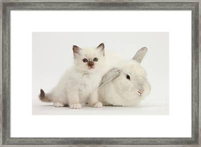 Colorpoint Kitten And White Rabbit Framed Print