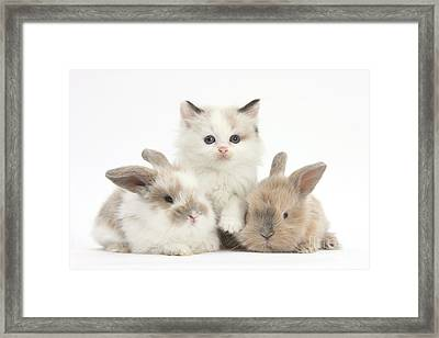Colorpoint Kitten With Baby Rabbits Framed Print