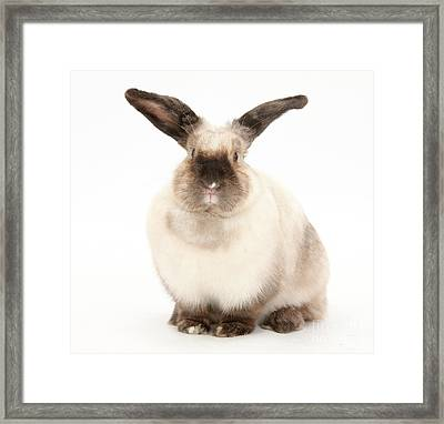 Colorpoint Rabbit Framed Print