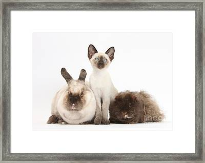 Colorpoint Rabbit, Shaggy Guinea Pig Framed Print