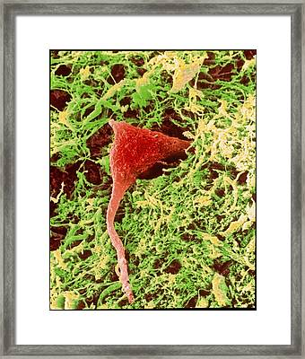 Coloured Sem Of A Nerve Cell In Brain Tissue Framed Print by Steve Gschmeissner