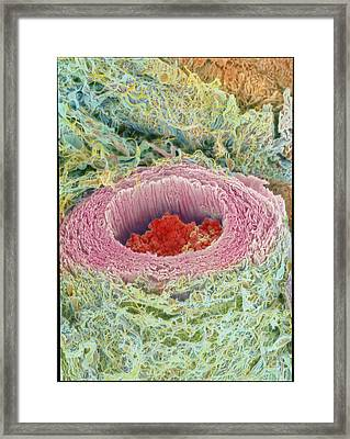 Coloured Sem Of Section Through A Human Arteriole Framed Print by Steve Gschmeissner