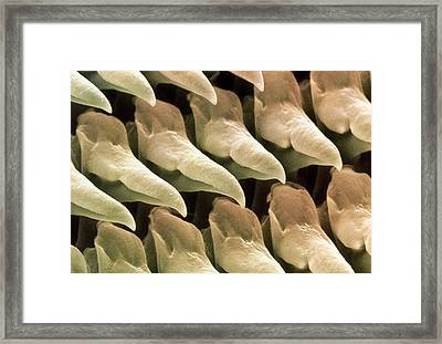 Coloured Sem Of The Radula Of The Garden Slug Framed Print by Power And Syred