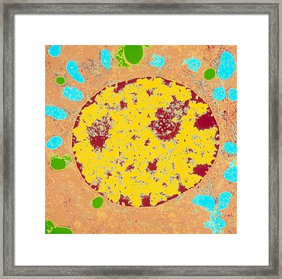 Coloured Tem Of A Liver Cell (hepatocyte) Framed Print