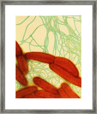 Coloured Tem Of Escherichia Coli Bacteria Framed Print by Dr Kari Lounatmaa