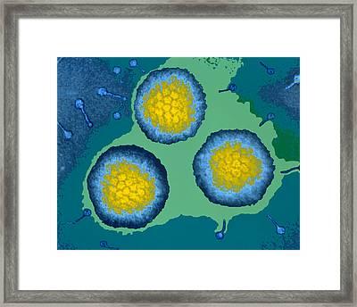 Coloured Tem Of Three Adenoviruses Framed Print by Dr Linda Stannard, Uct