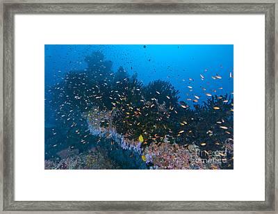Colourful Reef Scene, Christmas Island Framed Print
