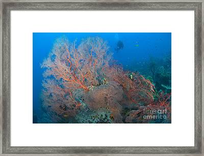 Colourful Sea Fan Seascape, Papua New Framed Print