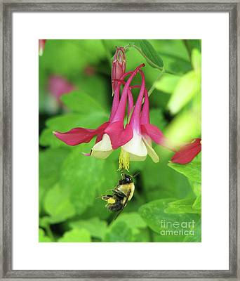 Framed Print featuring the photograph Columbine And Bee by Michele Penner