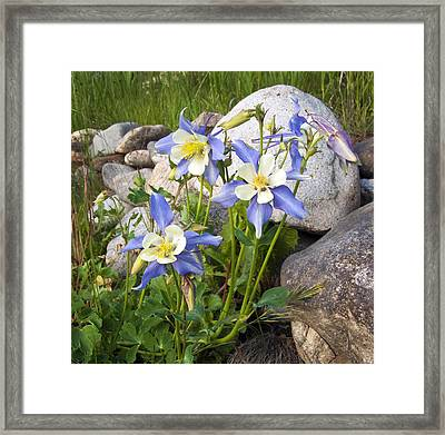 Columbine Colorado State Flower Framed Print