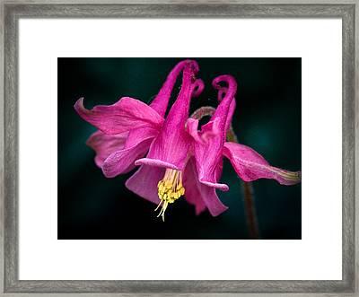 Columbine Flower Framed Print