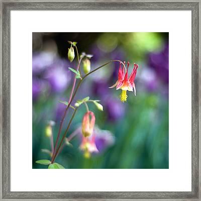 Columbine Flower Framed Print by Laura George
