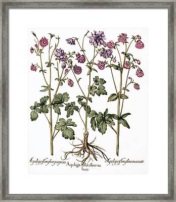 Columbine Flowers Framed Print by Georgette Douwma