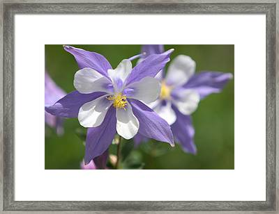 Framed Print featuring the photograph Columbine by Marta Alfred