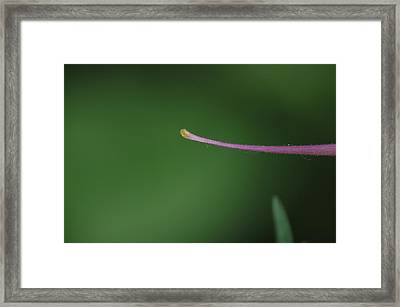 Columbine Spur Framed Print by Ken Dietz